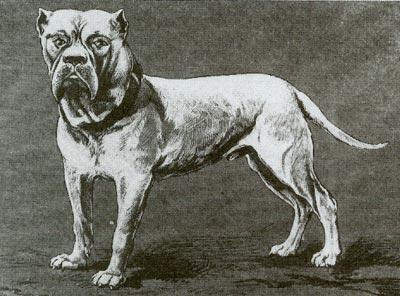 Фото 12. С кобеля Ролан в 1890 году начал разведение бордоских догов господин Ворез. Рост собаки 72 см, окружность головы - 62 см, окружность груди - 95 см, вес 56 кг (по Билану).